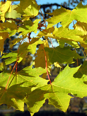 tree(0.0), plant(0.0), autumn(0.0), branch(1.0), leaf(1.0), yellow(1.0), sunlight(1.0), grape leaves(1.0), maple leaf(1.0),