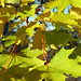 Small photo of Acer platanoides