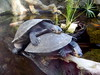 "<a href=""http://www.flickr.com/photos/templarion/1333556134/"">Photo of Podocnemis unifilis by Paul Huber</a>"