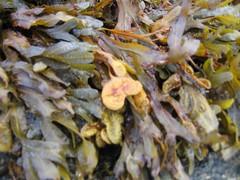 Seaweed (closeup)