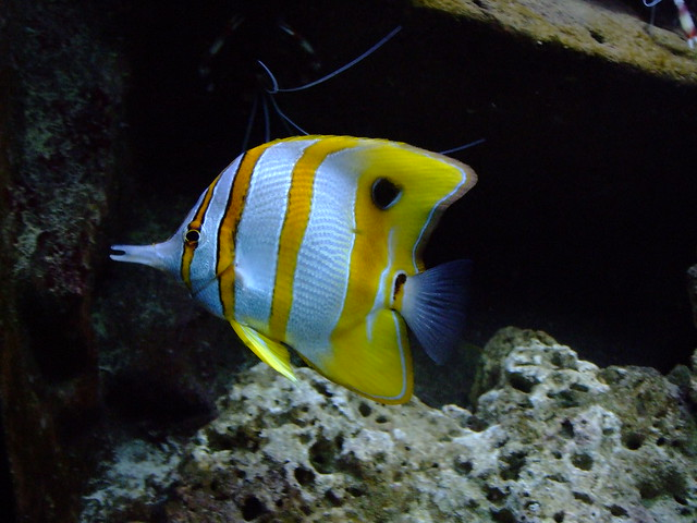 Yellow and white striped fish flickr photo sharing for Pictures of white fish
