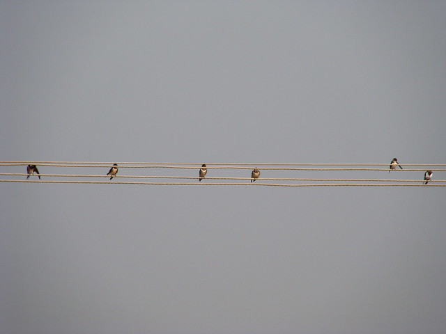 Birds Resting On The Electric Lines .....