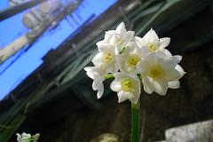 blossom(0.0), hyacinth(0.0), flower(1.0), plant(1.0), flora(1.0), narcissus(1.0),