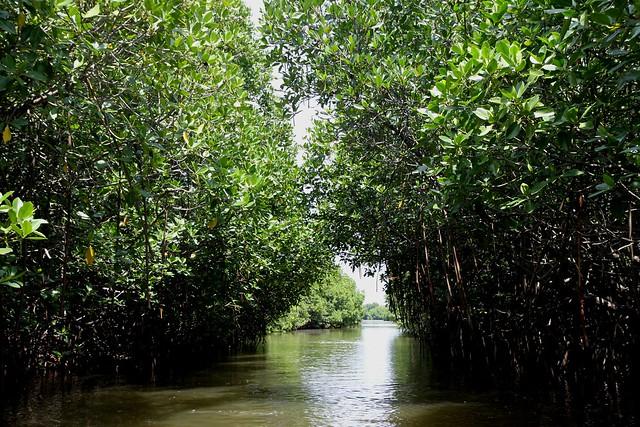 Pichavaram Mangrove Forests : World's second largest