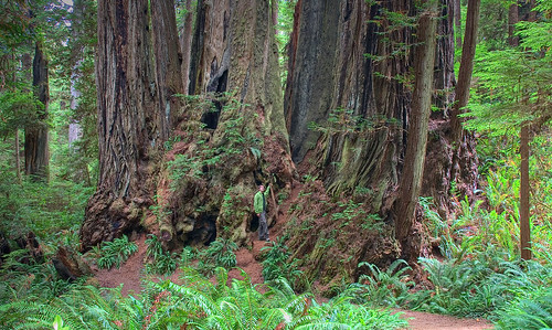 Prairie Creek State Park - James Irvine Trail: Cathedral Tree & an architect