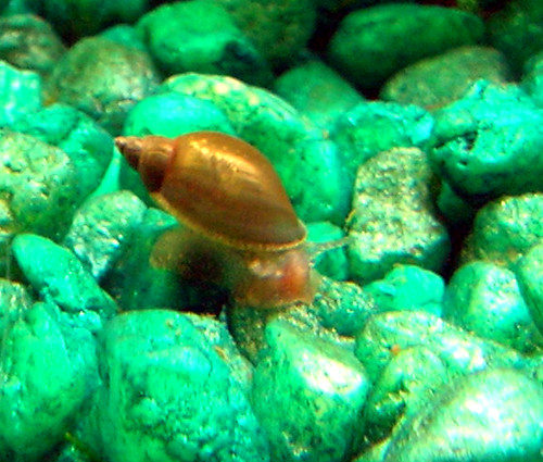 Another pond snail flickr photo sharing for Garden pond snails