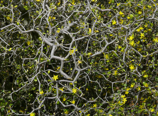 Corokia cotoneaster 1 best viewed large size argophyll