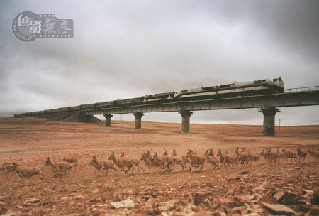 Some claimed this photo proved China's high-speed train would not impact endangered antelopes.  Then it was discovered that the photojournalist had spliced two photos together.  He resigned his post.  ~ Liu Weiqing 2006 http://bit.ly/a5Ummx