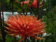 fleur orange bis