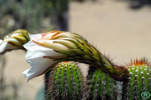 Cactus blooming a flower