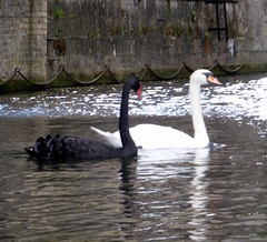 wildlife(0.0), animal(1.0), black swan(1.0), water bird(1.0), swan(1.0), fauna(1.0), bird(1.0),