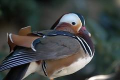 puffin(0.0), duck(0.0), animal(1.0), water bird(1.0), wing(1.0), fauna(1.0), waterfowl(1.0), close-up(1.0), ducks, geese and swans(1.0), beak(1.0), bird(1.0), wildlife(1.0),
