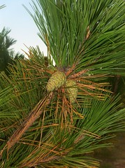 date palm(0.0), arecales(0.0), coconut(0.0), saw palmetto(0.0), spruce(0.0), larch(1.0), evergreen(1.0), borassus flabellifer(1.0), palm family(1.0), branch(1.0), pine(1.0), leaf(1.0), tree(1.0), food(1.0), fir(1.0),