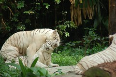 White-Tigers