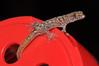 "<a href=""http://www.flickr.com/photos/theactionitems/4610140532/"">Photo of Sphaerodactylus sputator by Marc AuMarc</a>"