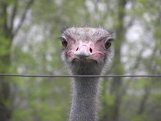 A staring ostrich