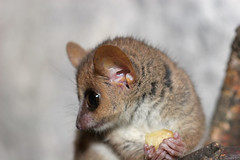 animal, mouse, mammal, fauna, close-up, whiskers, wildlife,