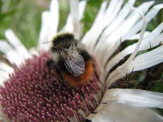Bumble Bee at 2000 meters altitude - Transfagarasan