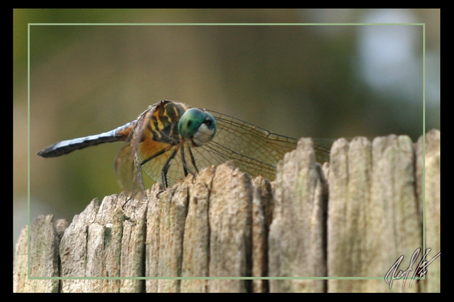 Dragonfly (just resting)
