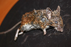 Dead mouse left by front door