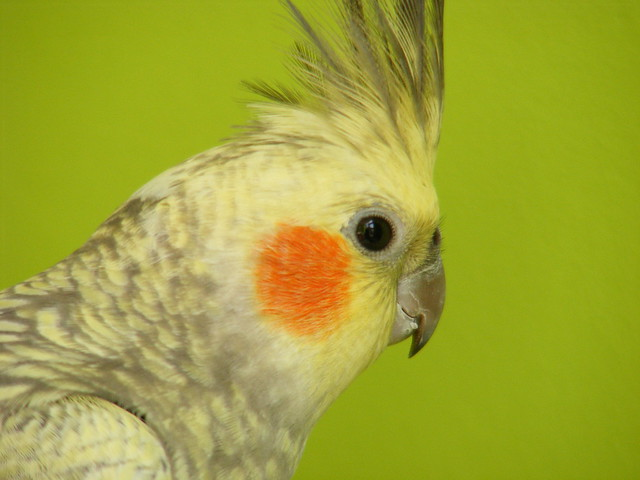 cockatiel head on green | Flickr - Photo Sharing!