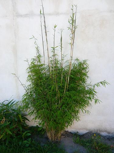 du japon dans un jardin reprise de pousse bambous. Black Bedroom Furniture Sets. Home Design Ideas