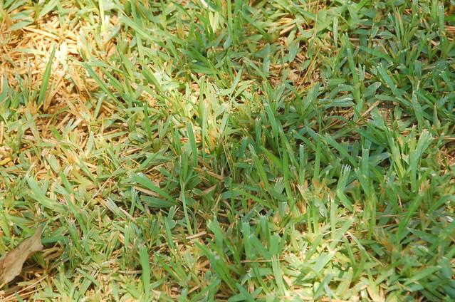 Buffalo Grass | Flickr...