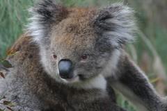 Yanchep NP (?)   Koala