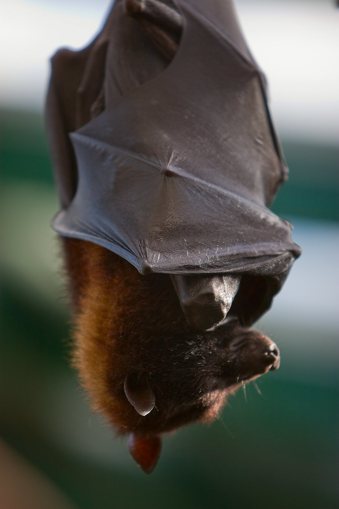 bat, fruit bat, hanging, close up,