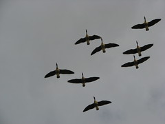 goose(0.0), animal migration(1.0), animal(1.0), water bird(1.0), wing(1.0), fauna(1.0), flock(1.0), bird migration(1.0), bird(1.0), flight(1.0),