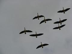 animal migration, animal, water bird, wing, fauna, flock, bird migration, bird, flight,