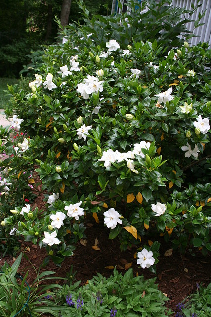 Gardenia Bush http://www.flickr.com/photos/dogsrule/532593481/