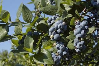 blueberries_DSC0199