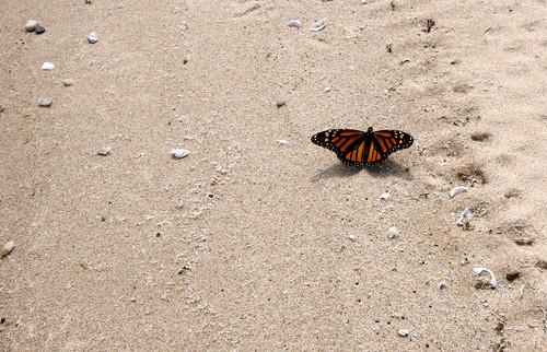 Monarch, Danaus plexippus, sunning on the shore