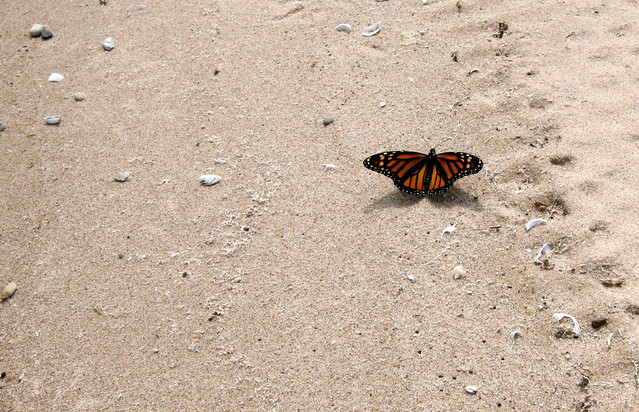 Monarch, Danaus plexippus, sunning on the shore
