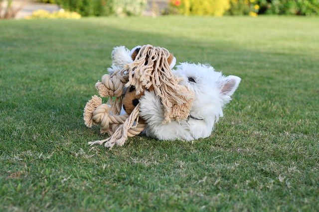 Cute West Highland White Terrier Puppy Playing with Dog Toy