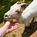 Goaty by Raoul Pop