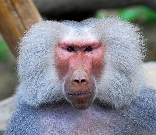 micos peludos