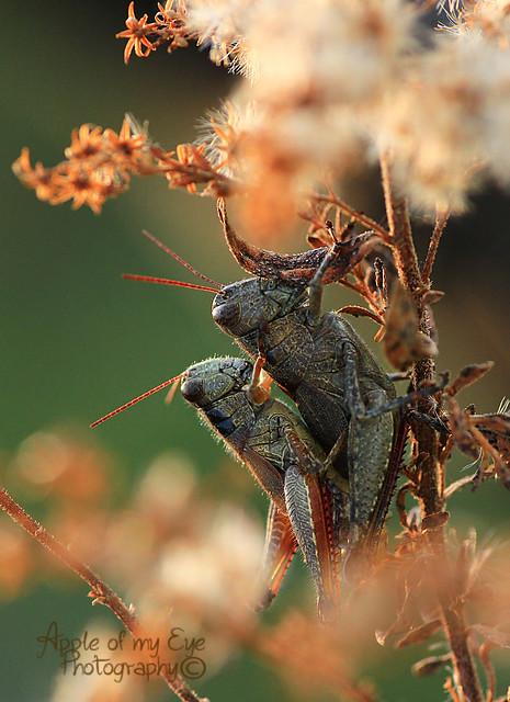 crickets 5