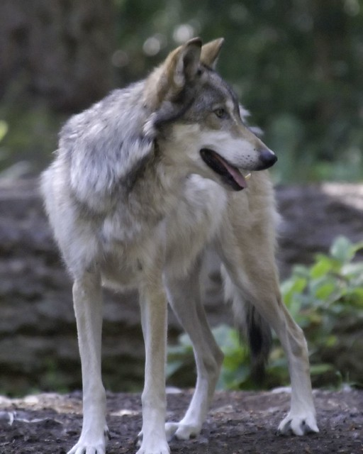 wolf-standing | Flickr - Photo Sharing! Wolf