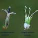 Comparaison des fleurs d'ASTERACEAE et d'APIACEAE by pancrat