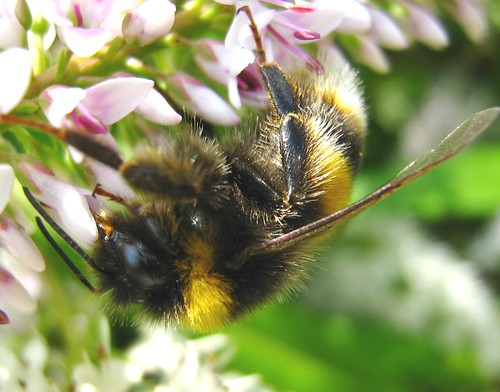 English Bumble Bee