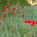 At last I've found some poppies! (better large) by Daisypops1