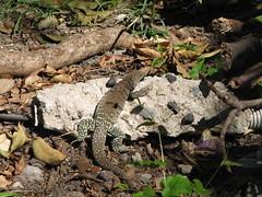 Lizard outside Ft. Louis