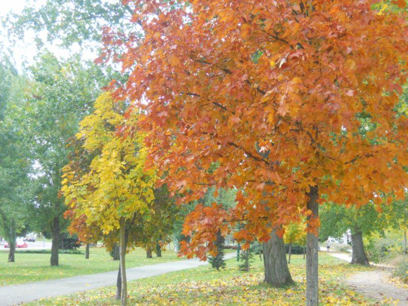 Platano otoño