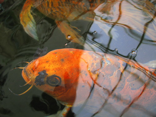How do you tell the difference between baby koi and for Goldfisch und koi
