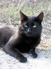 animal, small to medium-sized cats, pet, mammal, black cat, fauna, bombay, cat, whiskers, black, domestic short-haired cat,
