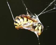 yellowjacket trapped in spiderweb