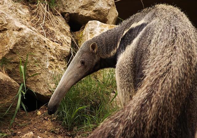 giant anteater portrait