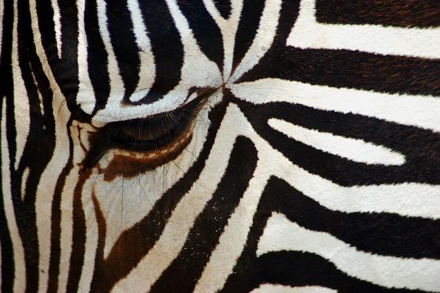 Zebra Squared